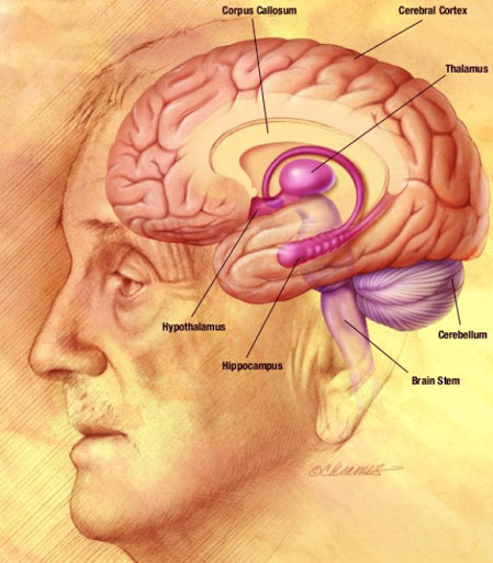 How the brain benefits from aging